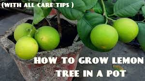 How To Grow Lemon Tree With All Care Tips