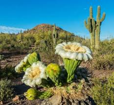 the desert botanical garden offers free admission tomorrow and the second tuesday of every month til 8 p m photo by desert botanical garden