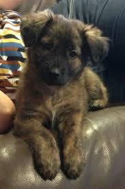 german shepherd golden retriever husky mix. Beautiful Golden Black Golden Retriever German Shepherd Mix Puppies Photos To Husky E