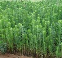 Marestail Horseweed