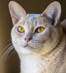Burmese Kitten Weight Chart The Burmese Cat A Complete Guide To The Breed