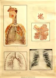 Four Vintage Anatomical Wall Charts Adam Rouilly