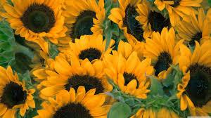 sunflowers wallpaper wallpaper ideas