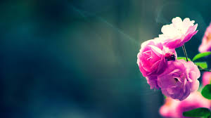 HD Wallpapers For PC Full Screen Flower ...