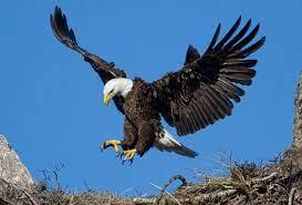 Eagle Landing In Nest - 1600x1086 ...