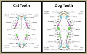 Image Result For Dental Chart Dog Dog Teeth Dogs Teeth