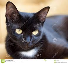 cute black cats with yellow eyes. Brilliant Cute Download Cute Black Cat With Yellow Eyes Stock Image  Of Cute Funny On Cats