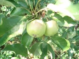 Яблоня Культурные растения Кубани Растения Краснодарского края  Яблоня