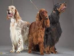 animals dogs setter english setter ...
