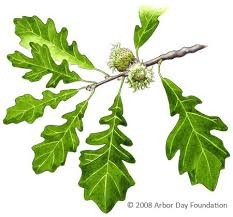 Tree Identification Chart What Tree Is That Online Edition At Arborday Org