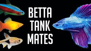 Betta Fish Chart Compatible Tank Mates For Betta Fish
