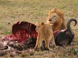 wild animals in african jungle. Unique African South Africa Animals Zoo Animals On Wild In African Jungle L