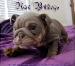 Dna Color Chart Planet Merle English Bulldogs Home Of