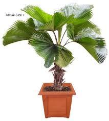 fan palm trees. medium ruffled fan palm tree - licuala grandis trees t