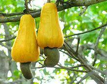 Big Fig Fruit Tree At Green Mansion Garden Gavi Kerala  YouTubeKerala Fruit Trees