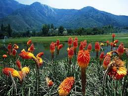 kashmir  beauty and brutality  lt br gt a photo essay and report by    kashmiris are known for their beautiful flowers and pastoral scenes