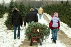 CAN YOU REPLANT A CUT CHRISTMAS TREE?
