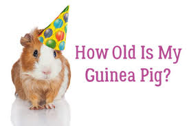 Guinea Pig Age Chart How Old Is My Guinea Pig Small Pet Select Blogs Small