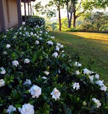 gardenia bush hedge this might be a nice replacement for those rosebushes under the windows next to the house