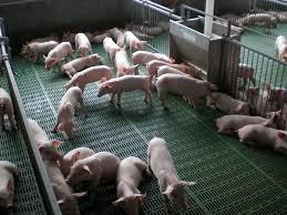 Recomendaciones Para Granjas Dedicada Al Engorde De Lechones Precio Granja De Cerdos Engorde