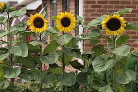 how to grow sunflowers at home
