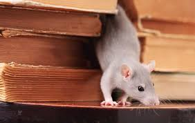 How to Spot Mice or Rats in Home - Rodent Infestation