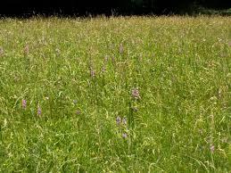 Gladiolus imbricatus L. {ID 3553} - Forum Acta Plantarum