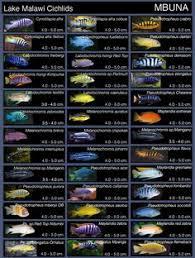 Cichlids Enthusiast Forum Page 1742 Tropical Fish