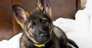 German Shepherd Pdsa