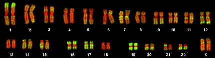 Karyotype Chart Karyotypes Biology For Majors I