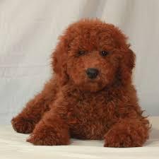 moyen poodle puppies