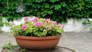 annual geraniums are commonly grown as bedding plants or in containers