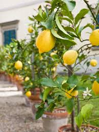 potted lemon trees