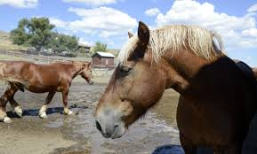 United In Light Draft Horse Sanctuary Gentle Giants United In Light Draft Horse Sanctuary Cares