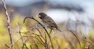 The Wild Way Scientists Hope to Save Darwin's Finches from ...