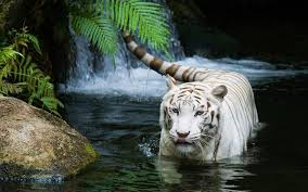 baby white tigers wallpaper. Delighful Wallpaper Beautiful Tiger Wallpaper Download Inside Baby White Tigers Wallpaper G