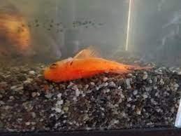 金魚 底 に 沈む