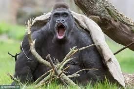 """Résultat de recherche d'images pour """"singes drôles"""""""