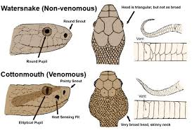 How To Tell If A Snake Is Poisonous Or Not Identify Non