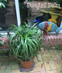 Ponytail Palm Cats Qr4 Us