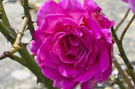 Image result for pics of a thorny rose