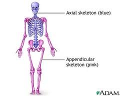 skeletal system anatomy review essay medicine and health articles number of bones in skeletal divisions