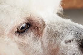 close up of dog eye with conjunctivitis infected dog eye