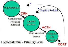 Hypothalamus Pituitary Adrenal Axis And Its Mechanism Of Action