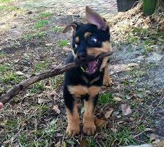 german shepherd rottweiler mix puppies. Exellent Rottweiler German Shepherd Rottweiler Mix In German Shepherd Rottweiler Mix Puppies M