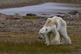 Does Polar Bear Hair Conduct Light And Therefore Heat Special Report Polarizing Polar Bears Unmasking A Proxy