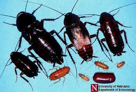 Cockroaches As Pets Cockroaches Care Facts Andhow To Get Rid Of