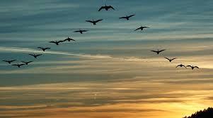 Resultado de imagen de las Aves migratorias