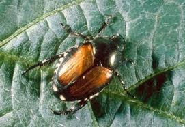 japanese beetles life cycle japanese beetles description and life cycle