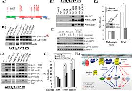 a kinase independent function of akt promotes cancer cell survival figure 4